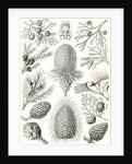 Conifers. Coniferae by Ernst Haeckel