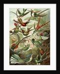 Hummingbirds. Trochilidae by Ernst Haeckel