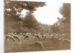 Flock of sheep in a meadow by Anonymous