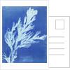 Clubmoss trace plant, Lycopodium Ceylon by Anna Atkins