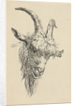 Head of a goat by Jan Kobell