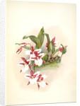 Odontoglossum rossii by F. Sander