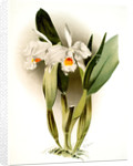Cattleya eldorado crocata by F. Sander