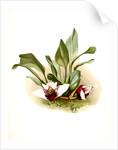 Maxillaria sanderiana by F. Sander