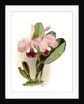 Cattleya labiata warneri by F. Sander