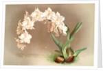 Odontoglossum crispum by F. Sander
