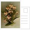 Odontoglossum wilckeanum var rothschildianum by F. Sander