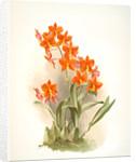 Epidendrum vitellinum by F. Sander