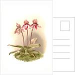 Cypripedium tautzianum by F. Sander