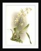Odontoglossum hebraicum aspersum by F. Sander
