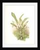 Zygopetalum wendlandi by F. Sander