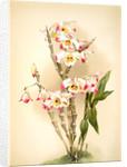 Dendrobium wardianum by F. Sander