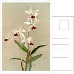 Cattleya intermedia punctatissima by F. Sander