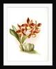 Odontoglossum insleayi splendens by F. Sander