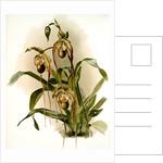 Selenipedium hybridum nitidissimum by F. Sander