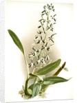 Epidendrum prismatocarpum by F. Sander