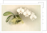 Phalaenopsis casta by F. Sander