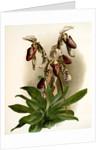 Cypripedium morganiae burfordiense by F. Sander
