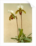 Cypripedium leeanum var giganteum by F. Sander