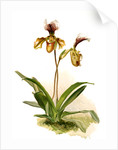 Cypripedium (hybridum) calypso by F. Sander
