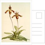 Cypripedium (hybridum) laucheanum; cypripedium (hybridum) eyermanianum by F. Sander