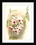 Dendrobium leechianum by F. Sander