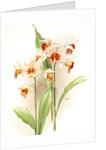 Phaius hybridus amabilis; phaius hybridus marthiae by F. Sander