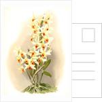 Dendrobium aureum by F. Sander