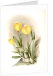 Cattleya citrina by F. Sander
