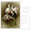 Cattleya mendellii var measuresiana by F. Sander