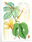 Hodgsonia Heteroclita, Hook. fil. et Thoms. (Female plant) by Walter Hood Fitch