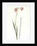 Gladiolus hirsutus, Gladiolus velu, Rose-colored corn flag by Pierre Joseph Redouté