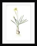 Narcissus Gouani, Narcissus incomparabilis; Narcisse de Gouan, Incomparable narcissus by Pierre Joseph Redouté
