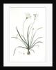 Allium fragrans, Ail parfumé, Fragrant onion by Pierre Joseph Redouté