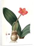 Haemanthus coccineus, Hémanthe écarlate; Blood Lily, Paint Brush; April Fool by Pierre Joseph Redouté