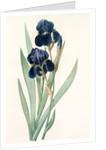 Iris germanica, Iris germanique; German flag by Pierre Joseph Redouté