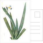 Moraea vaginata, Neomarica Northiana; Morée à longue gaine, Walking Iris; North's false flag; Apostle plant by Pierre Joseph Redouté