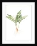 Convallaria majalis, Muguet de Mai; Lily of the valley by Pierre Joseph Redouté