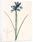 Iris Xiphium, Iris xiphium; Iris xiphium; Spanish Iris, Bulbous Iris by Pierre Joseph Redouté