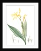 Canna flaccida, Balisier flasque, Golden Canna; Bandana of the Everglades by Pierre Joseph Redouté