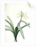 Pancratium illyricum, Pancrace de Dalmatie by Pierre Joseph Redouté