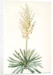 Yucca filamentosa, Yucca a filaments; Adams-needle (enlarged) by Pierre Joseph Redouté
