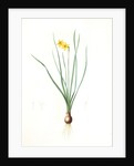 Narcissus radiatus, Narcissus Tazetta; Narcisse radiê by Pierre Joseph Redouté