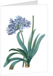 Agapanthus umbellatus, Agapanthus africanus; Lily-of-the Nile; Agapanthe en ombelle by Pierre Joseph Redouté