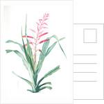 Pitcairnia bromeliaefolia, Pitcairnia faux-ananas, Scarlet colored pitcairnia by Pierre Joseph Redouté