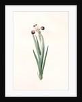 Iris versicolor, Iris à coleurs changeantes, Blue Flag; Flag Lily; Liver Lily; Snake Lily; Dragon Flower by Pierre Joseph Redouté