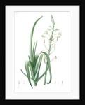 Albuca cornuta, Albuca altissima; Albuca cornue; Cape Asphodel, Albuca maxima by Pierre Joseph Redouté