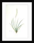 Tofieldia palustris, Tofieldie des marais; False Asphodel, Scotch Asphodel by Pierre Joseph Redouté