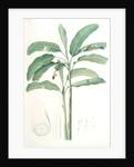 Musa paradisiaca, Bananier cultivé; Cultivated Banana (Plant) by Pierre Joseph Redouté