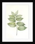 Polygonatum latifolium, Polygonatum verticille, Solomon's Seal by Pierre Joseph Redouté